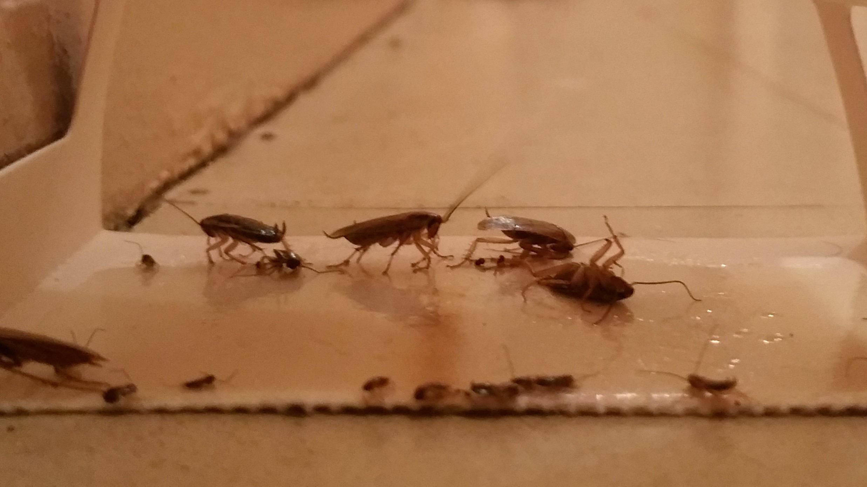 St-Pol : les cafards s'étant installés tout l'été, les locataires sont fort dépourvus
